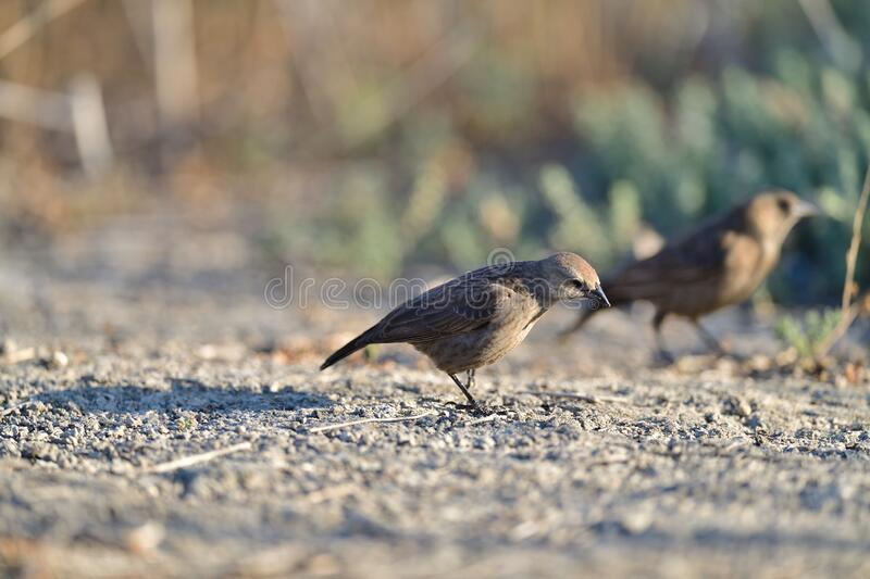 A Brown-headed cowbird -FeMale royalty free stock image