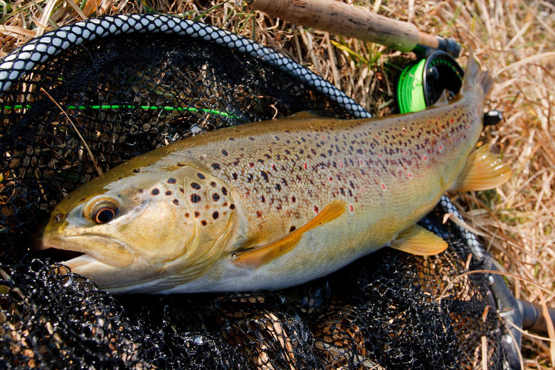 Female brown trout stock photography