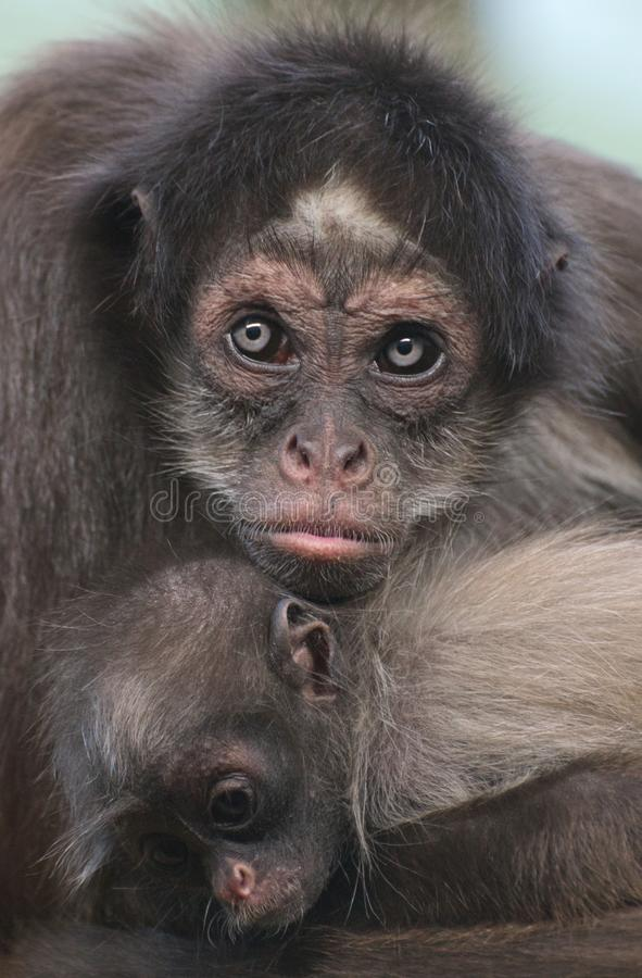 A female brown / variegated spider monkey hugging her baby stock photos
