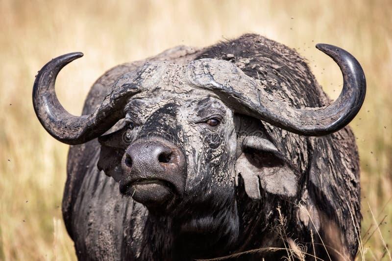 Female Cape buffalo in the Masai Mara, Kenya stock images