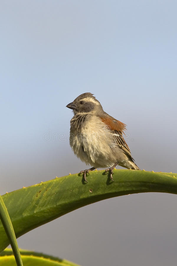 Female Cape Sparrow Royalty Free Stock Image