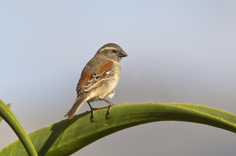 Download Female Cape Sparrow stock photo. Image of blue, aloe - 35948954