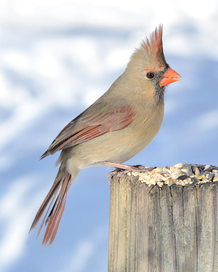 Female Cardinal. A female cardinal perched on a post eating bird seeds royalty free stock photo