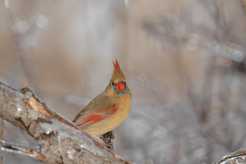 Female Cardinal. The female northern cardinal lacks the bright red coloration of the male of the species stock images