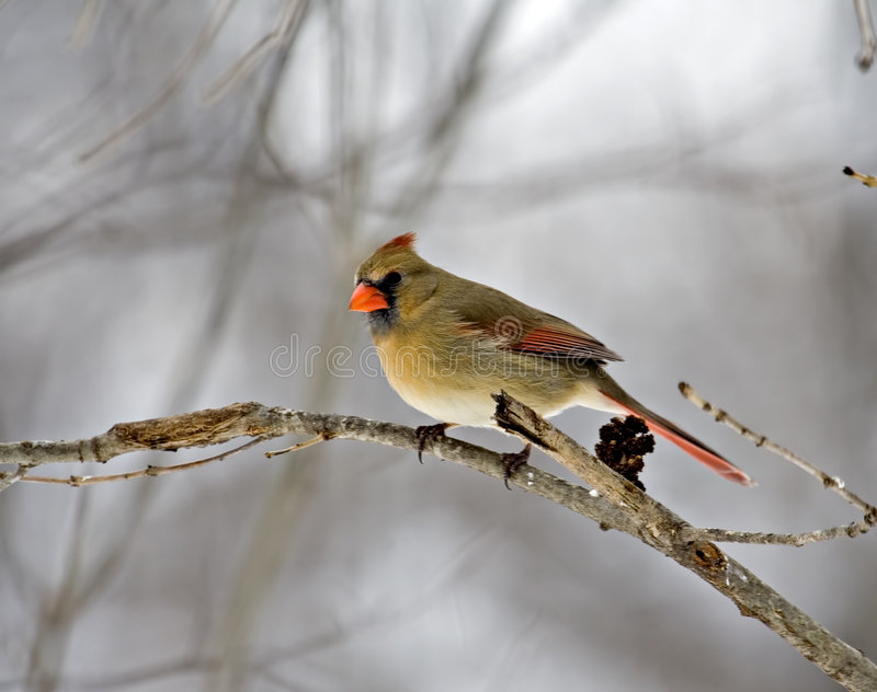 Female Cardinal. Perched on a tree branch stock photo