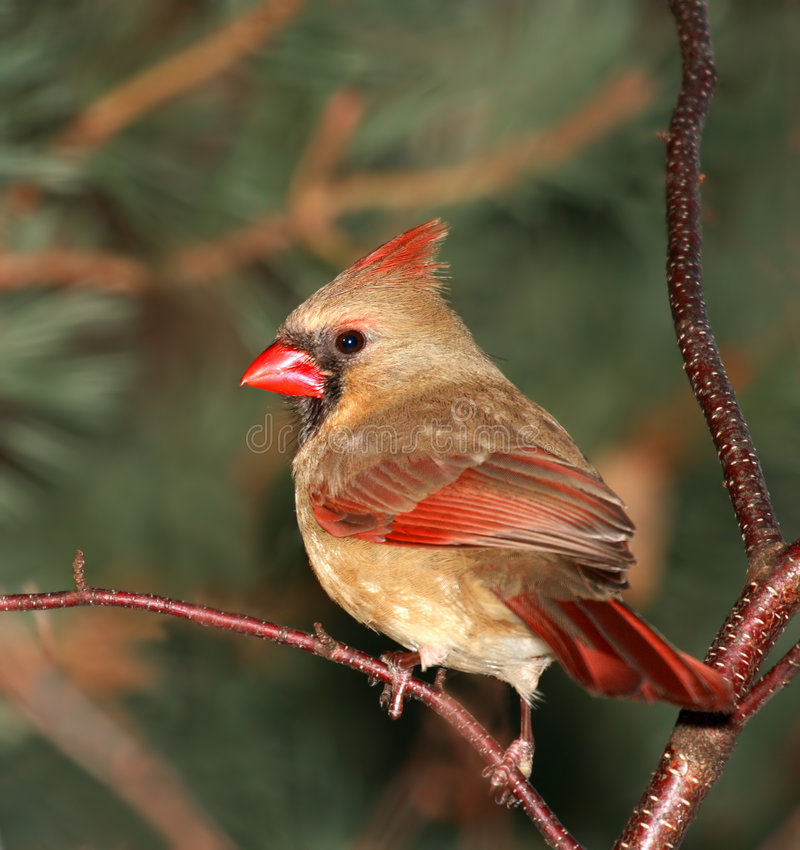 Female Cardinal. Female Northern Cardinal perched in a tree royalty free stock image