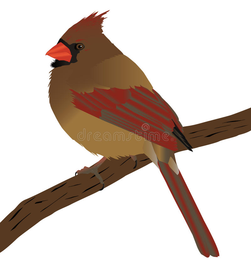 Female Cardinal. A beautiful female cardinal on a branch. Great for desighn royalty free illustration