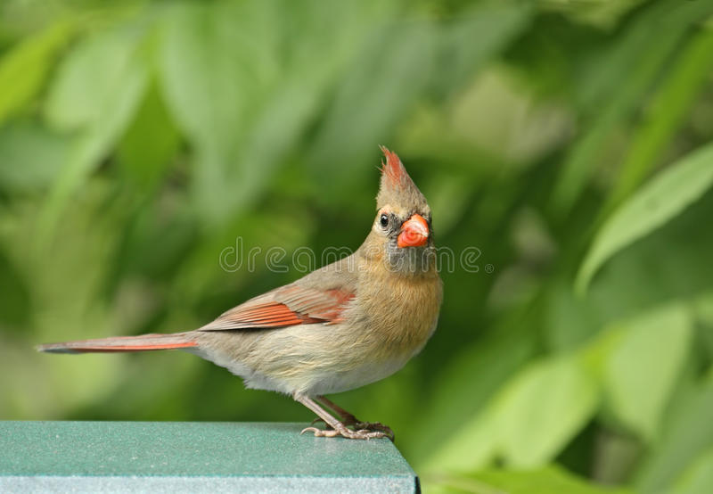 Female Cardinal. Female northern cardinal perched on a bird feeder royalty free stock photos
