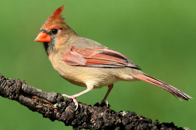 Download Female Cardinal On A Branch Stock Image - Image: 16629115