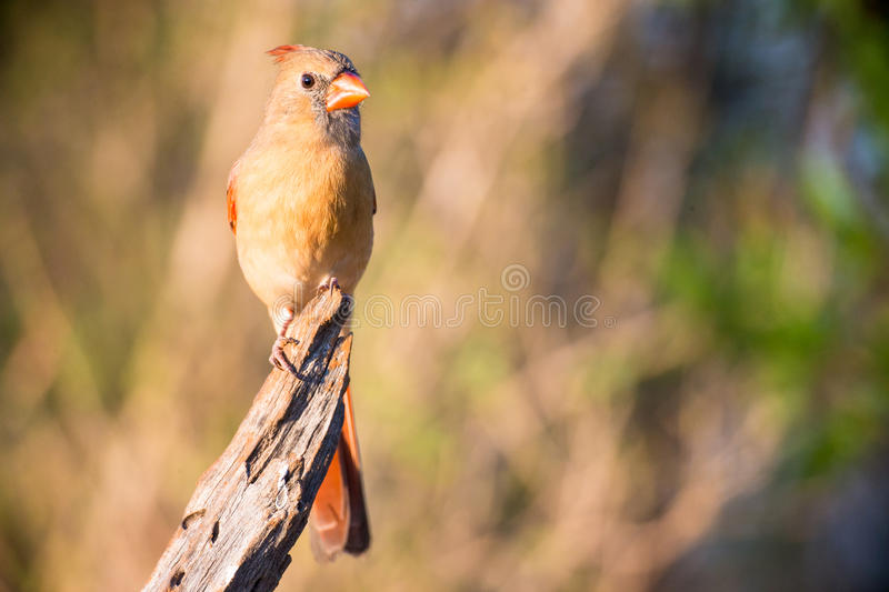 Female cardinal on branch royalty free stock photos