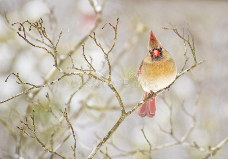 Female Cardinal on a cold snowy day. Female Cardinal sits alone on a cold snowy day royalty free stock images
