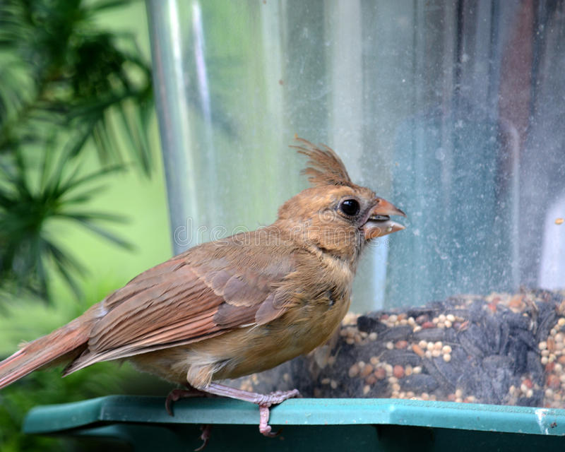 Female cardinal. Eating at a bird feeder royalty free stock photo