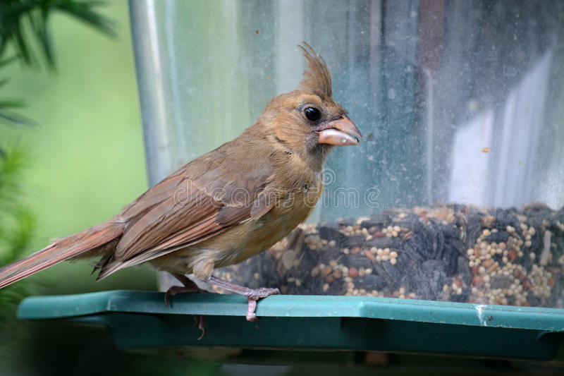 Female cardinal. Eating at a bird feeder stock image