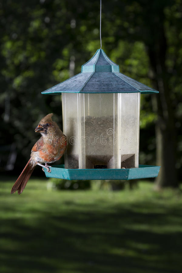 Female cardinal feeding royalty free stock images