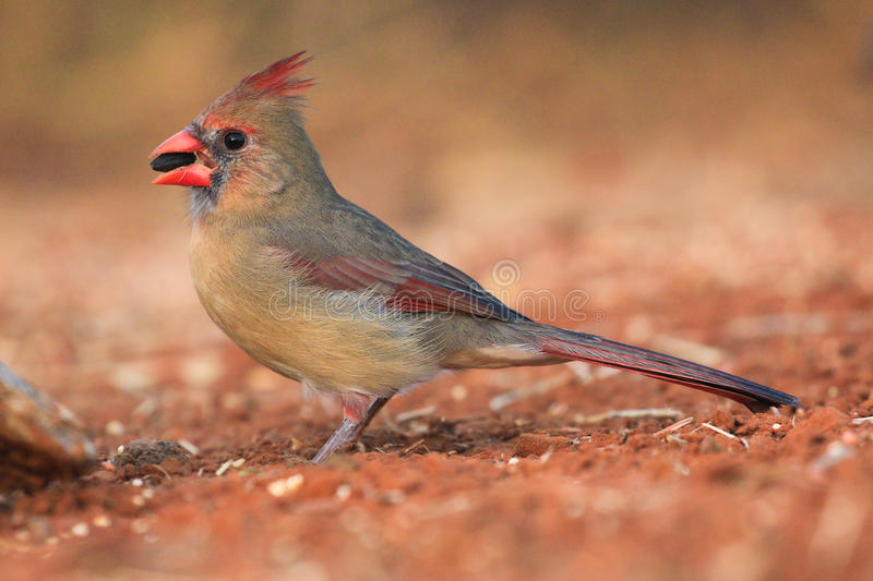 Female cardinal. Feeding on seeds stock images