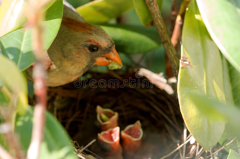 Female cardinal feeds her babies in the nest. A female cardinal bird has a green worm in its mouth to feed her three babies in the nest. One of the babies has a royalty free stock photography
