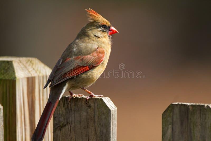 Female Cardinal Fence royalty free stock photography