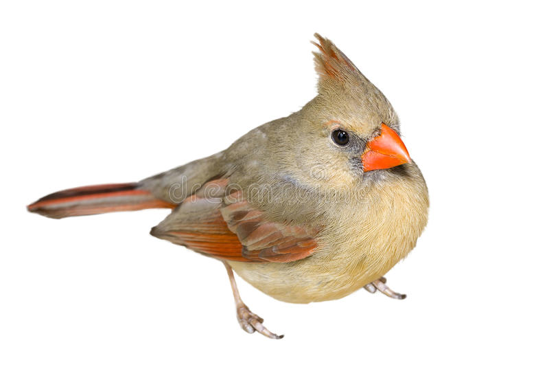 Female Cardinal. Isolated on a white background royalty free stock photos