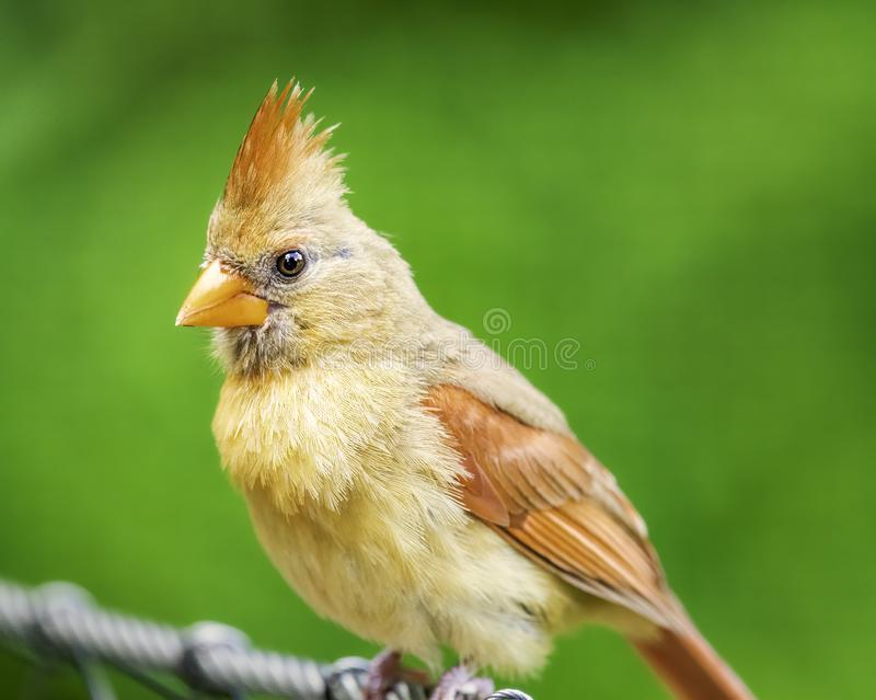 Female cardinal perched on cable. Green background stock photos