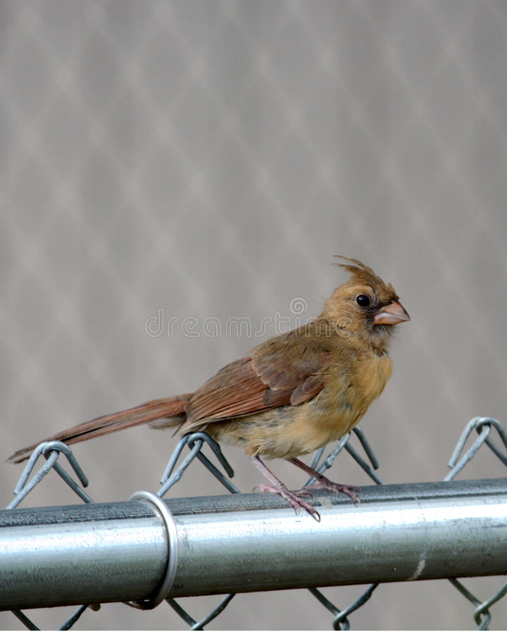 Female cardinal. A female cardinal perched on a chain link fence rail stock photo