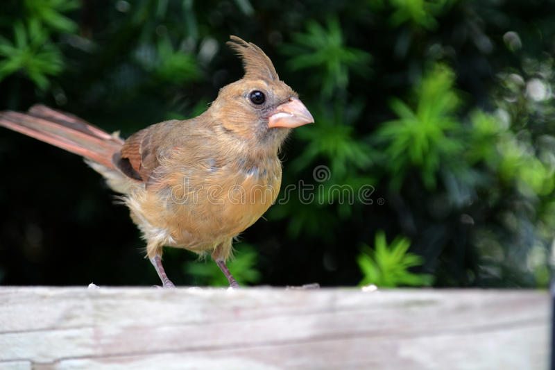Female cardinal. A female cardinal perched on a deck railing stock images
