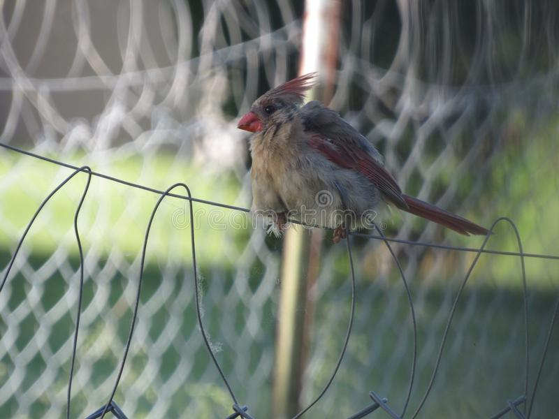 Female Cardinal stock photos