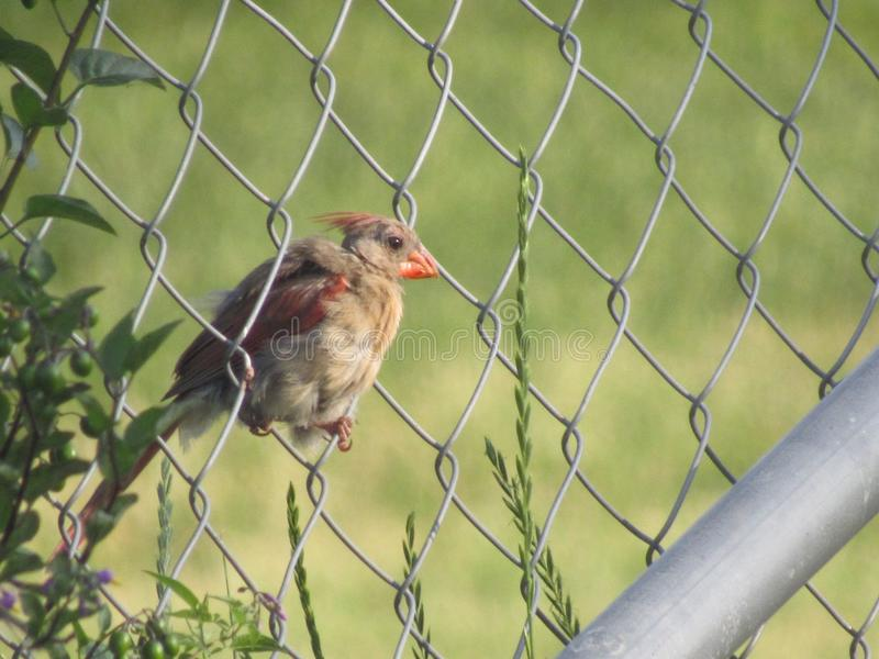 Female Cardinal. Perched on fence post stock photos