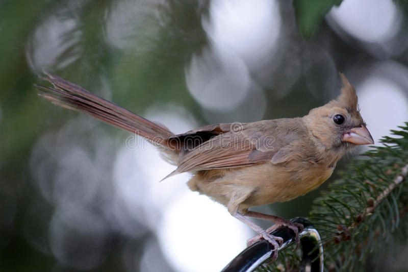 Female cardinal. A female cardinal perched on a Limb in a pine tree stock photography