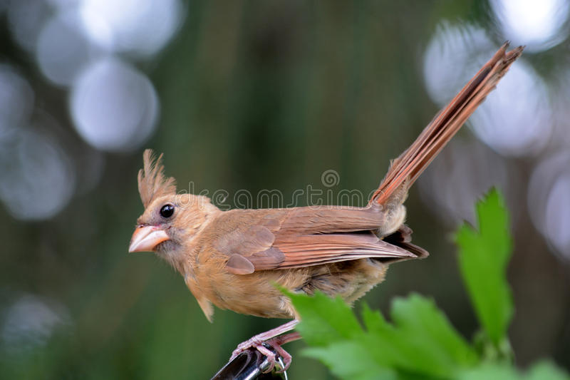 Female cardinal. A female cardinal perched on a Limb in a pine tree royalty free stock photography