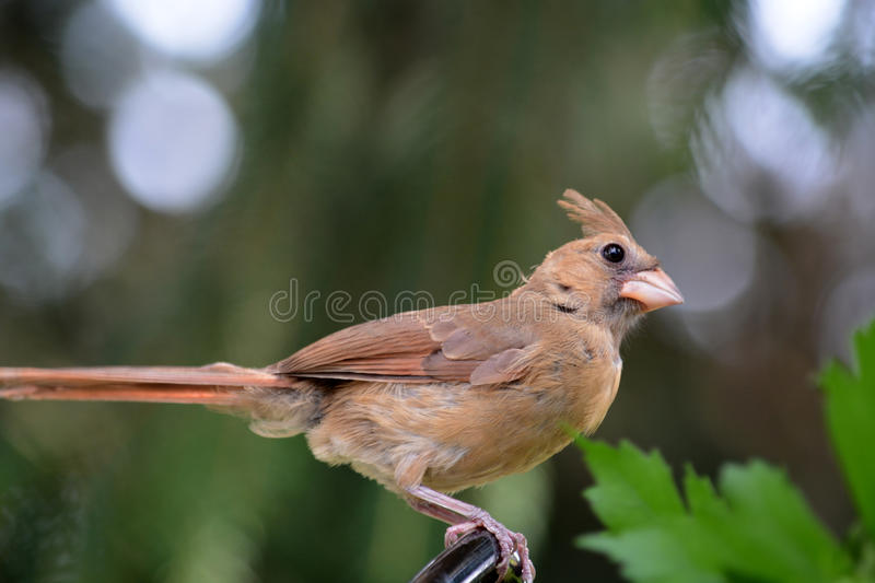 Female cardinal. A female cardinal perched on a Limb in a pine tree stock image