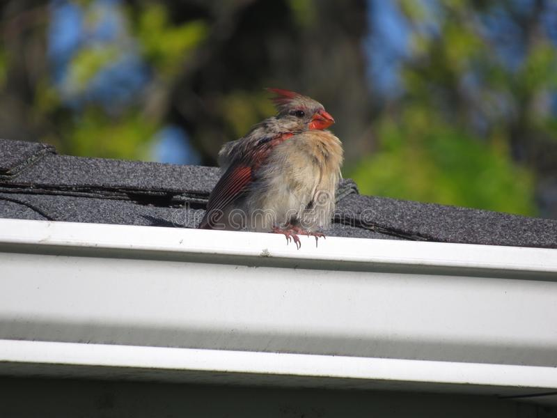 Female Cardinal. Perched on roof top stock image