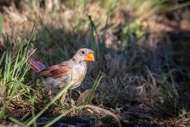 Female cardinal resting in the grass. With bright orange beak and red feathers royalty free stock images