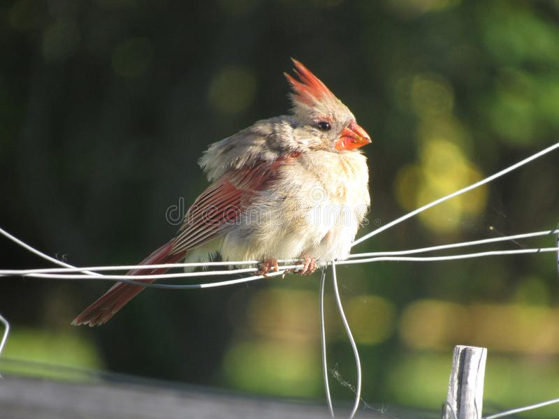 Female Cardinal. Resting on a thin wire royalty free stock image