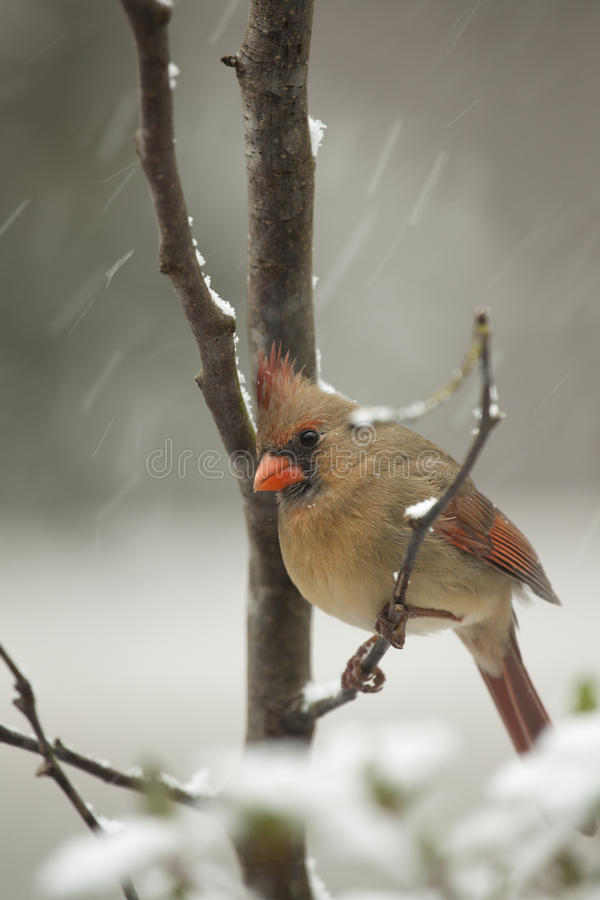 Download Female Cardinal in snow stock image. Image of black, feather - 17801519