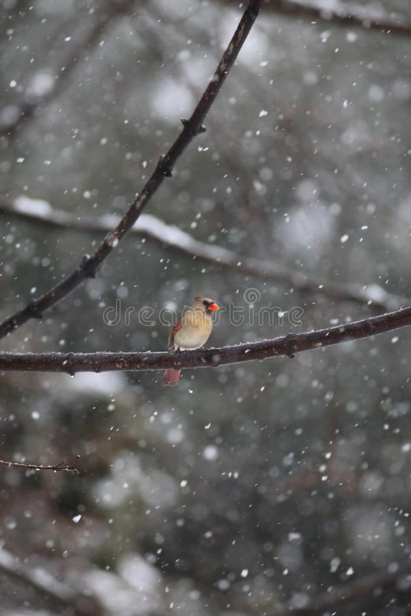 Female cardinal in a snow storm. Female cardinal sitting in a small branch during a January snow storm stock photos