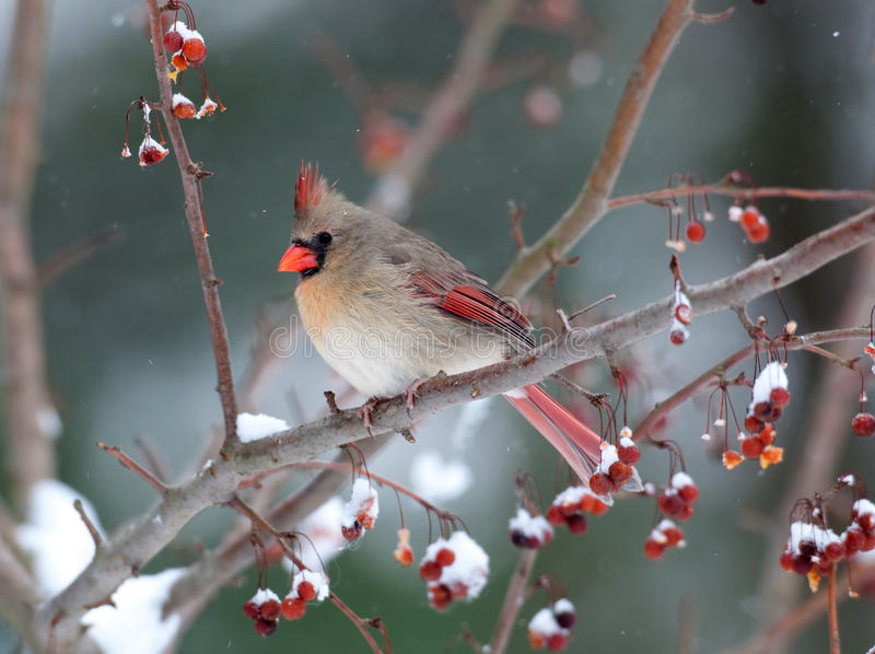 Female cardinal in snowstorm. Female cardinal perched on branch in snowstorm stock photography