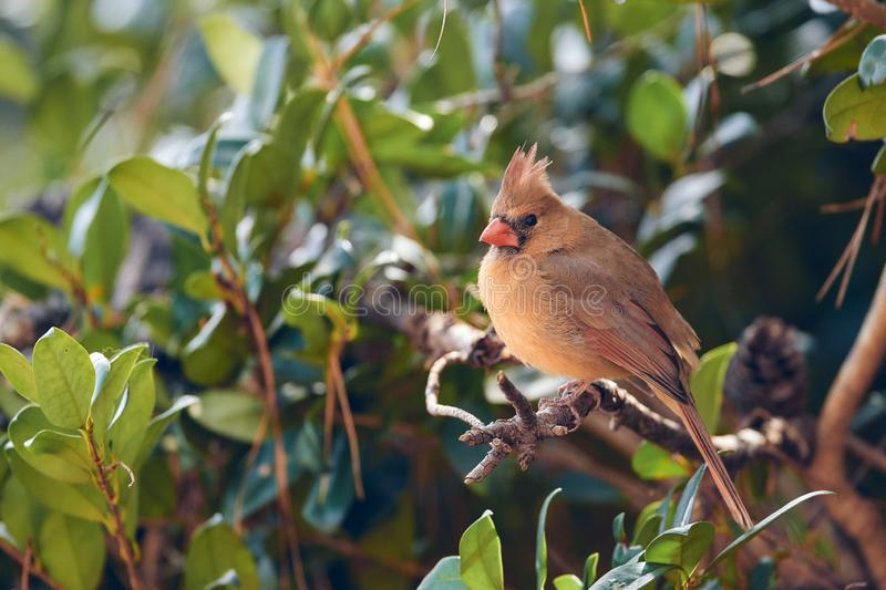A female cardinal surrounded by the green of summer. Watchful of its prey stock image