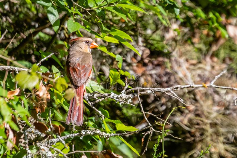 Female cardinal on a tree limb. In Balcones Canyonlands near Liberty Hill Texas royalty free stock photography