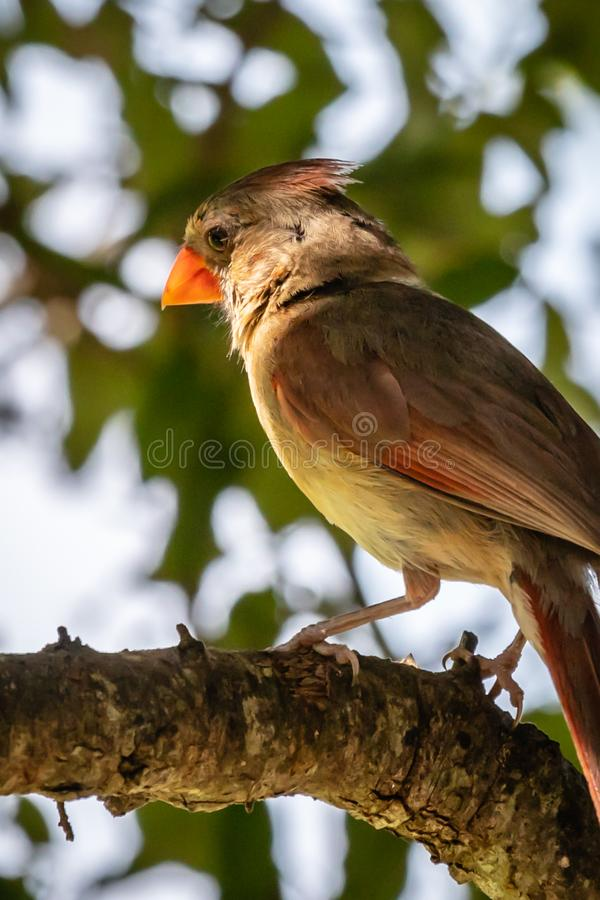 Female cardinal on a tree limb. Female cardinal resting on a tree limb with bright orange beak royalty free stock image