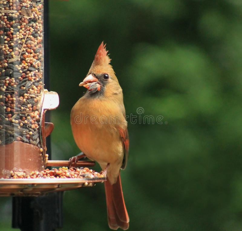 Female Cardinal - w/seed 1. Female Cardinal perched on a copper bird feeder with seed in her beak stock image