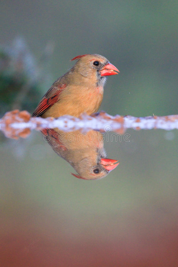 Female cardinal by water. With reflection royalty free stock photography