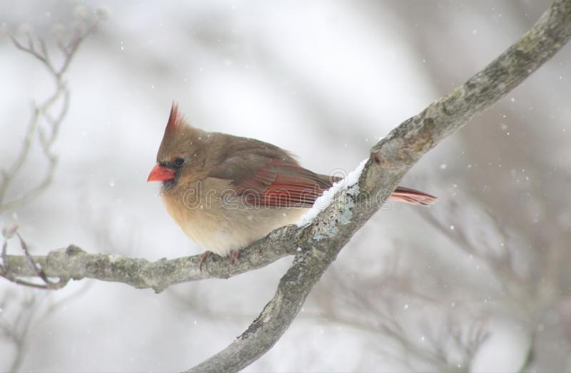 Female Cardinal During Winter in NY royalty free stock images