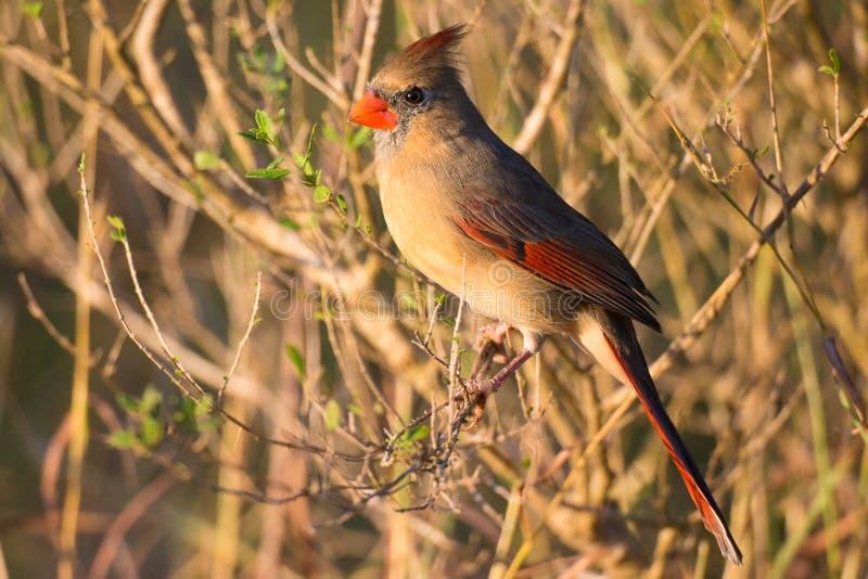 Female cardinal in winter stock photo
