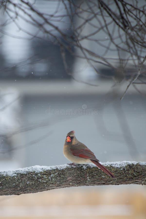 Female Cardinal in winter stock image