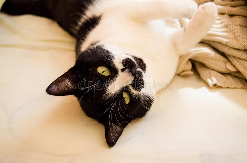 Female cat with curious look and slightly inclined head. Cat with black head and white body and sweet paws. Female cat with curious look and slightly inclined stock photography