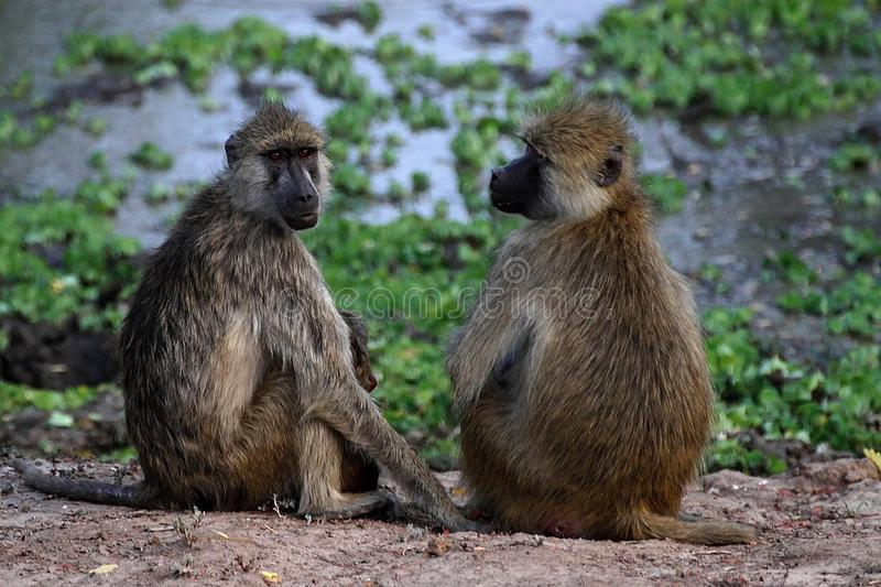 Two female Chacma Baboon, Papio ursinus griseipes, in the South Luangwa National Park, Zambia. Female Chacma Baboon, Papio ursinus griseipes, in the South royalty free stock photo
