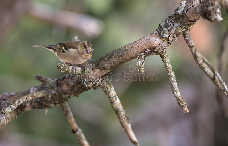 Female Chaffinch stock image