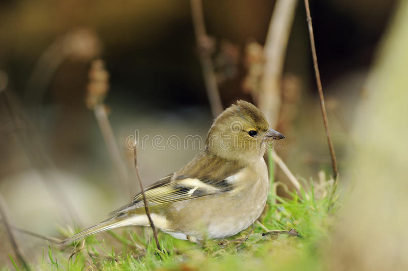 Female Chaffinch royalty free stock photos