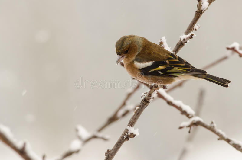 Female chaffinch bird winter royalty free stock photography