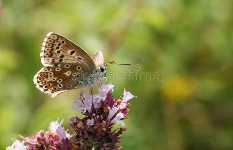 A pretty female Chalk Hill Blue Butterfly Polyommatus coridon nectaring on a Marjoram flower. A female Chalk Hill Blue Butterfly Polyommatus coridon nectaring stock image